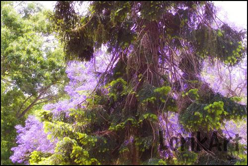 3purpletree-(2)WEB