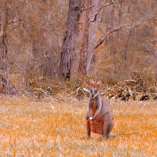 10wallaby4SQBWEB