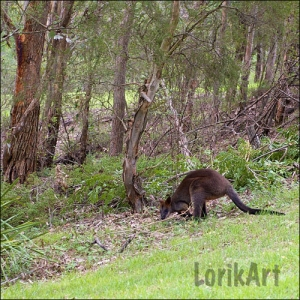 11wallaby5SQ.WEB