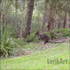 13wallaby7SQWEB