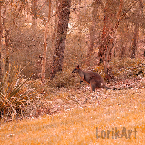 14wallaby7SQ-BWEB