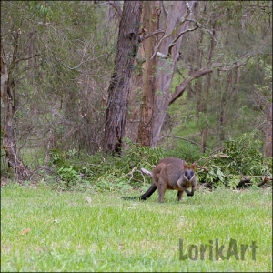 5Wallaby1SQWEB