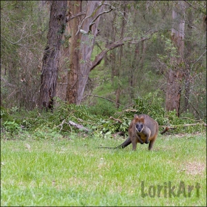 7wallaby2SQWEB