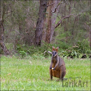 9wallaby4SQWEB