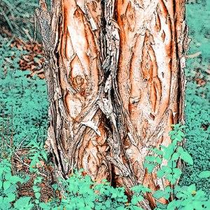 3AusBush_treebark_3WEBB