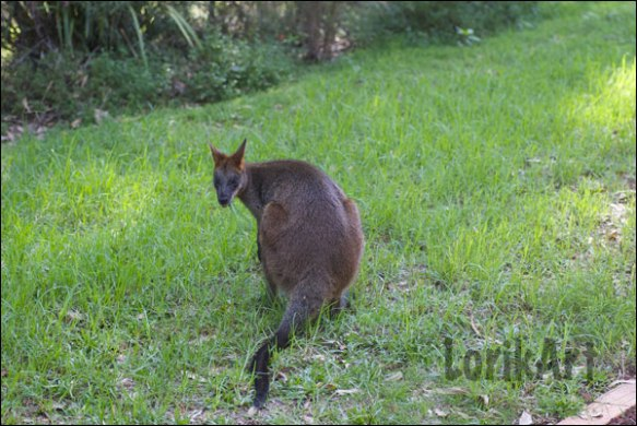 6AusBushWallaby_1WEB copy